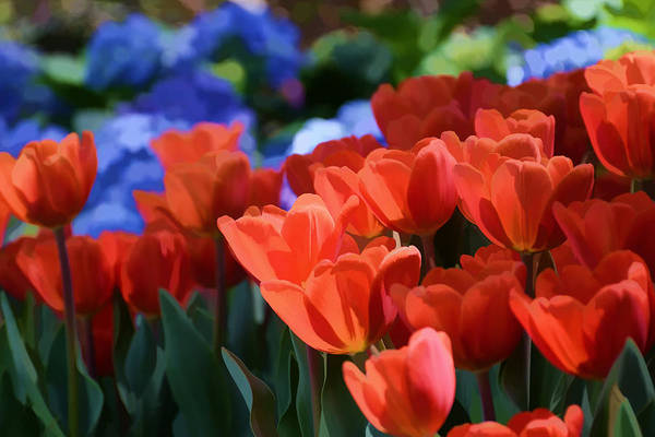 Photograph - Tulips And Hydrangeas by Jeanne May