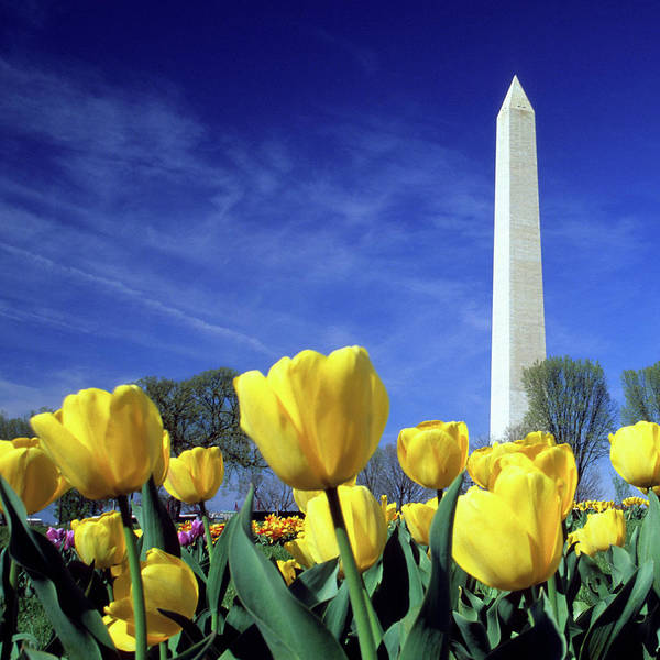Washington Square Park Wall Art - Photograph - Tulips And The Washington Monument by Hisham Ibrahim