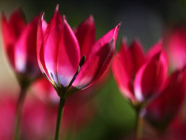 Photograph - Tulips by Annie Snel