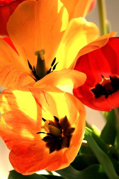 Wall Art - Photograph - Tulips Beauty by Valia Bradshaw