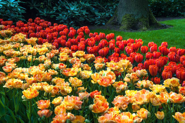 Queens Birthday Photograph - Tulips Display In The Keukenhof Garden. Netherlands by Jenny Rainbow