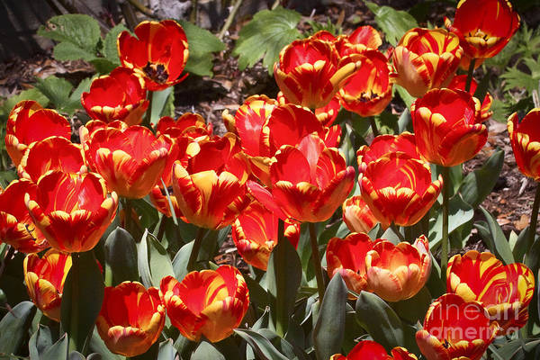 Photograph - Tulips Galore by Ronald Lutz