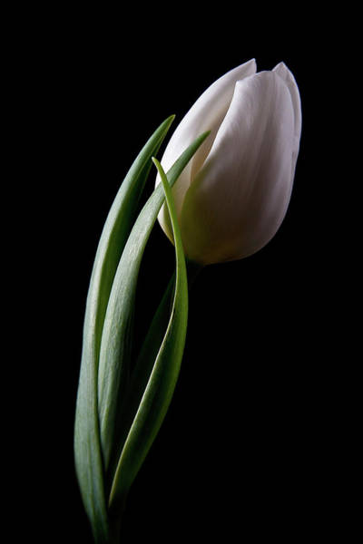 Tulip Flower Photograph - Tulips IIi by Tom Mc Nemar