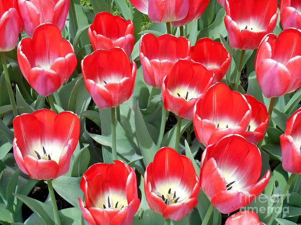 Photograph - Tulips In Boston - 1 by Tom Doud