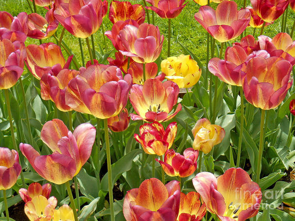 Photograph - Tulips In Boston - 2 by Tom Doud