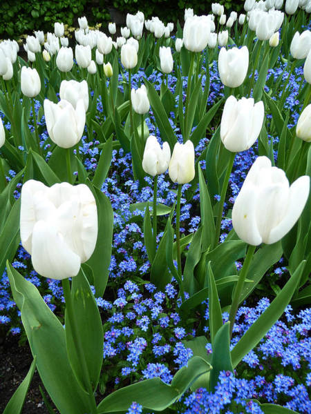Photograph - Tulips In Canada by Steven Lapkin