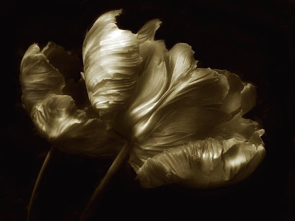 Photograph - Tulips In Sepia by Jessica Jenney