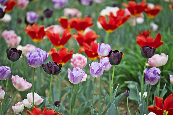 Photograph - Tulips by Ivan Slosar