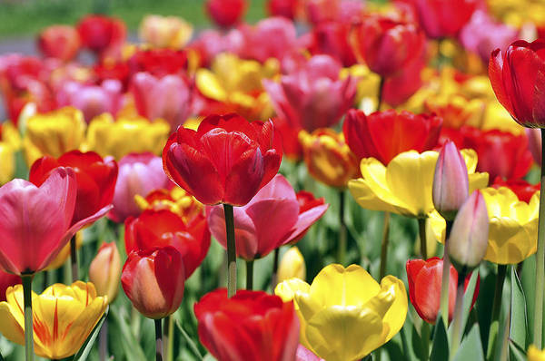 Photograph - Tulips by Joanne Brown
