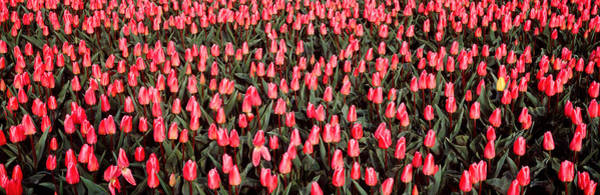 Noord Holland Wall Art - Photograph - Tulips, Noordbeemster, Netherlands by Panoramic Images