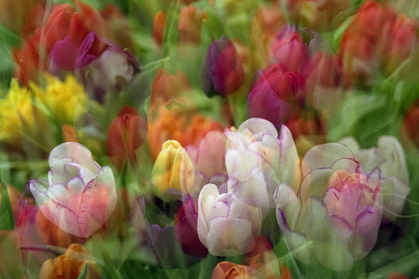 Photograph - Tulips by Penny Lisowski