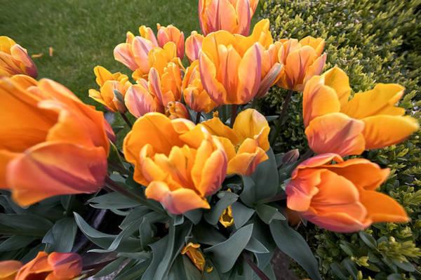 Photograph - Tulips by Steven Lapkin