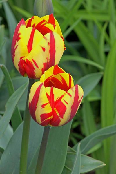 Photograph - Tulips by Tony Murtagh