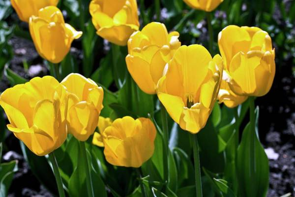 Tulipa Photograph - Tulips (tulipa 'golden Apeldoorn') by Dan Sams/science Photo Library