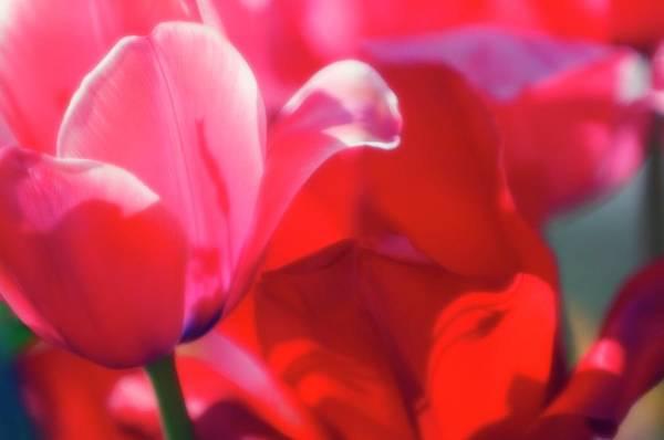 Tulipa Photograph - Tulips (tulipa Hybrid) by Maria Mosolova/science Photo Library