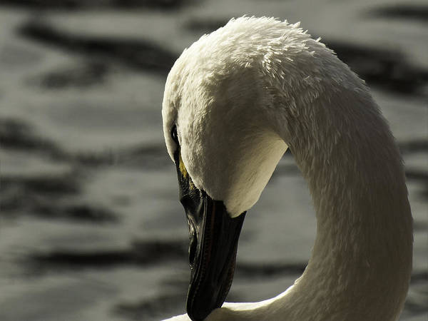 Wall Art - Photograph - Tundra Swan 2 by Thomas Young
