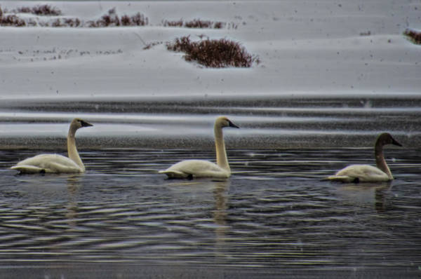 Photograph - Tundra Swan Family In The Snow by Beth Sawickie