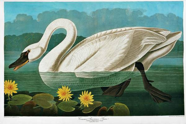 Swan Neck Photograph - Tundra Swan by Natural History Museum, London/science Photo Library