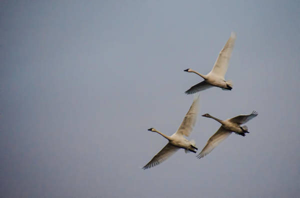 Photograph - Tundra Swans In Flight by Beth Sawickie