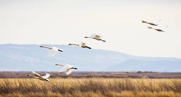 Photograph - Tundra Swans In Flight by Priya Ghose
