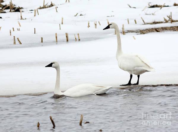 Wall Art - Photograph - Tundra Swans by Lori Tordsen