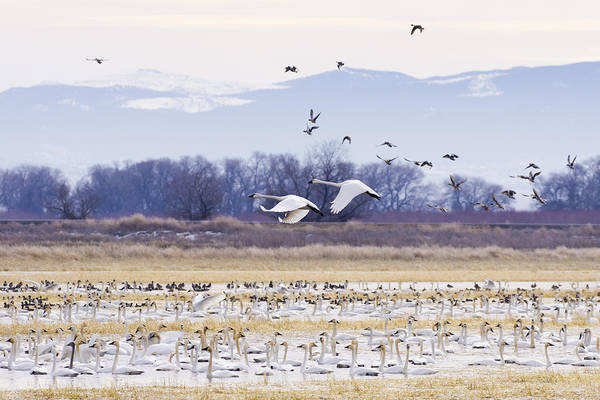 Photograph - Tundra Swans by Priya Ghose