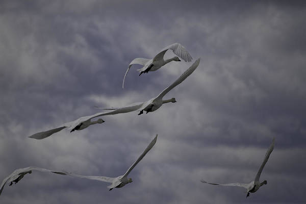 Wall Art - Photograph - Tundra Swans Taking Flight 1 by Thomas Young