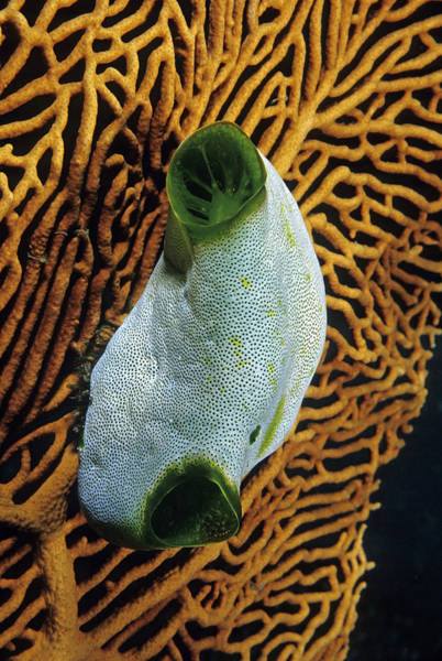 Photograph - Tunicate On A Gorgonian by Andrew J Martinez
