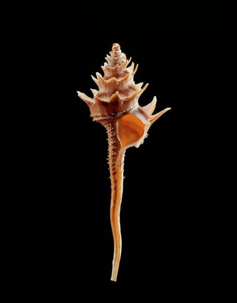 Zoological Photograph - Turbinellid Sea Snail Shell by Gilles Mermet