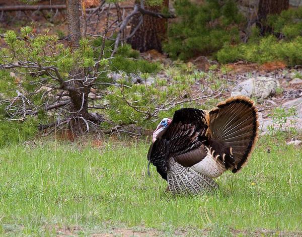 Photograph - Turkey Trot by Jim Garrison