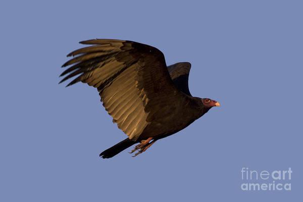 Photograph - Turkey Vulture In Flight by Meg Rousher
