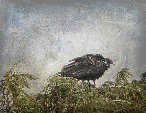 Photograph - Turkey Vulture Looking For Dinner by Betty  Pauwels
