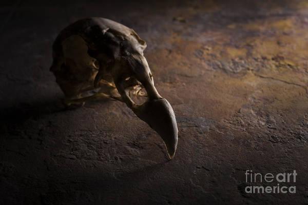 Turkey Vulture Skull On Slate Art Print