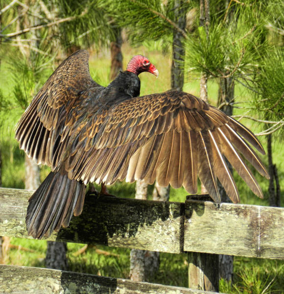 Photograph - Turkey Vulture Wings Spread by Grace Dillon