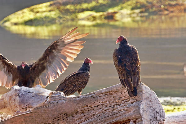 Photograph - Turkey Vultures Aka Dracula by Peggy Collins