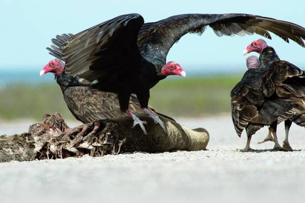 Ornithological Photograph - Turkey Vultures by Christopher Swann/science Photo Library