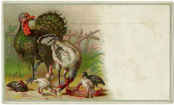 Wall Art - Drawing - Turkeys And Their Young  (meleagris by Mary Evans Picture Library