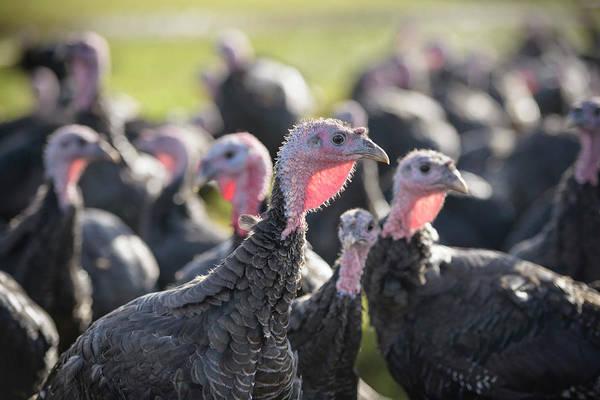Free Range Photograph - Turkeys On Free Range Turkey Farm by Monty Rakusen