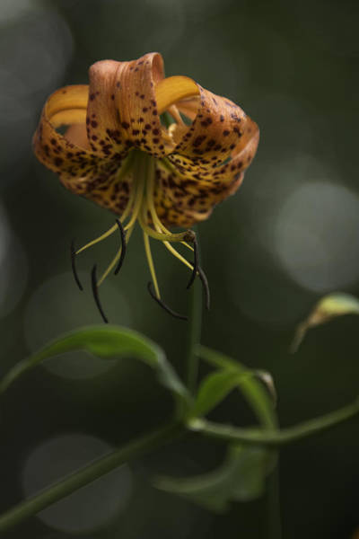 Photograph - Turks Cap 0002 by Donald Brown