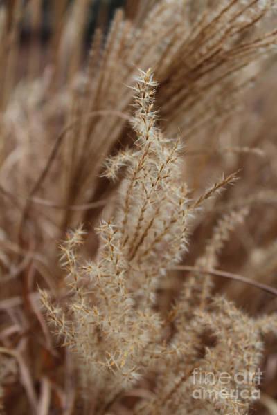 Pennisetum Photograph - Turning To Seed by Arlene Carmel