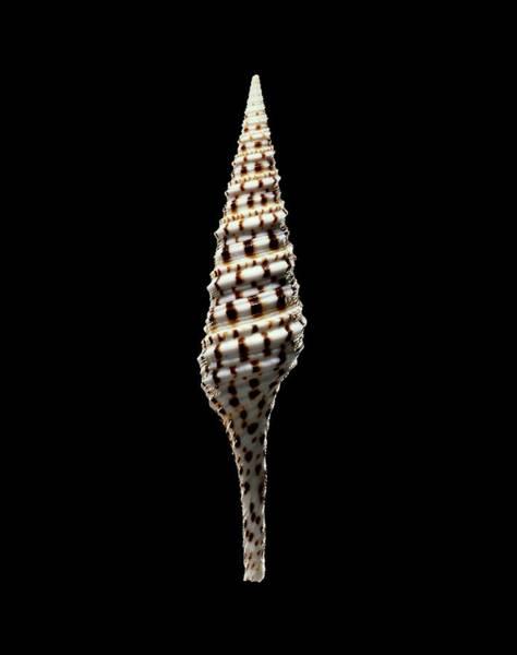 Marine Biology Wall Art - Photograph - Turrid Sea Snail Shell by Gilles Mermet