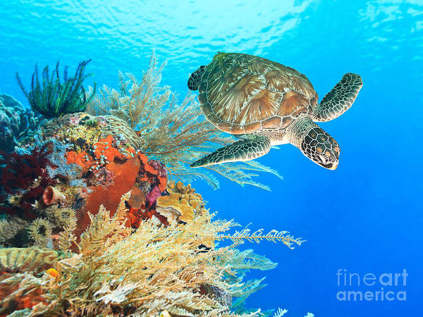 Hawksbill Turtle Photograph - Turtle And Coral by MotHaiBaPhoto Prints
