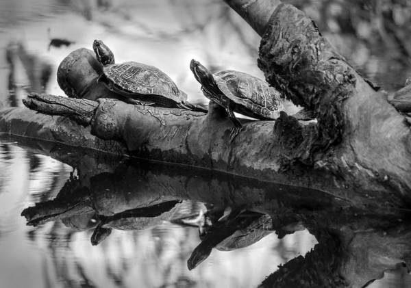 Turtle Bffs Bw By Denise Dube Art Print