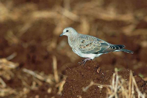 Turtle Photograph - Turtle Dove by Photostock-israel/science Photo Library