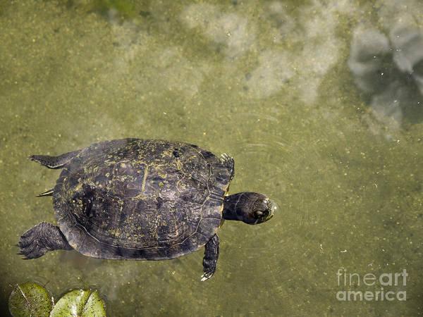 Photograph - Turtle Dreaming by Brenda Kean