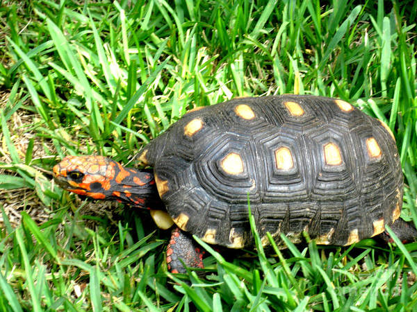 Photograph - Turtle  In The  Grass by Oksana Semenchenko