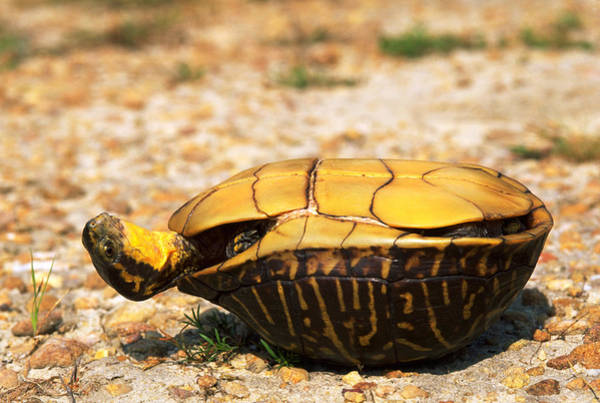 Box Turtle Photograph - Turtle On Its Back by Karl H. Switak
