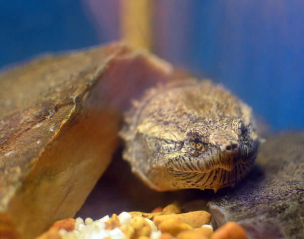 Photograph - Turtle Portrait by Maggy Marsh