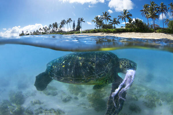 Coconut Trees Photograph - Turtle Snack by Sean Davey