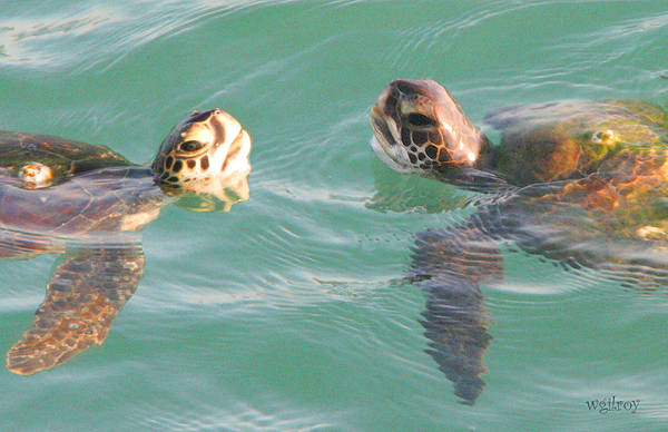 Hawksbill Turtle Photograph - Sea Turtles Talking by W Gilroy
